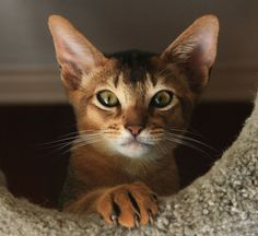 Daily Dozen for June 28, 2013 -- Photos -- National Geographic Your Shot #Abyssinian #Cat