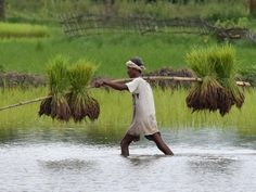 Crops cover 5 per cent more area than year ago - The Economic Times