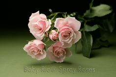 Baby Rio® MAJOLIKA Spray Rose