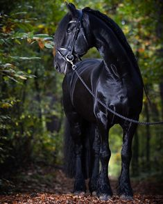 The Friesian was first introduced to the Americas when the Dutch settled on the southern tip of Manhattan Island in Andalusian Horse, Friesian Horse, Palomino, Arabian Horses, Black Horses, Wild Mustangs, Horse World, Clydesdale, Draft Horses
