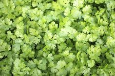 Pruning Cilantro! Pruning isn't necessary until you're ready to harvest, though removing the flowers can prolong the growing period for this annual herb. Cilantro grows best in cool weather in sunny spots and medium-moisture, freely draining soil.