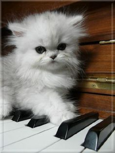 Persian Kitten playing the piano. Cus that's what cats do best.