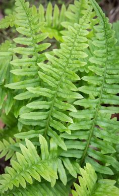 Real Gardens Grow Natives: A website on gardening with native plants. Container Gardening Vegetables, Succulents In Containers, Container Flowers, Container Plants, Vegetable Gardening, Plum Garden, Forest Garden, Shade Shrubs, Shade Plants
