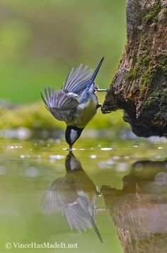 tight grip and flapping wings help for getting a drink of water!