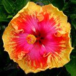Tropical Hibiscus 'Splash!'