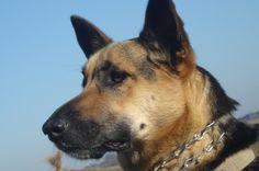 Uma, es una perra extremadamente cariñosa, juguetona y sumisa, pero muy guardiana y protectora. Sólo en ciertas ocasiones podemos verla en actitud de alerta y guardia, como en esta toma fotográfica. Primer plano, imagen de perfil. Luz natural frontal a la toma.