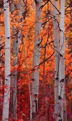 eb6092cf772 Autumn Splendor Photograph by Don Schwartz - Autumn Splendor Fine Art Prints  and Posters for Sale. Birch ForestAutumn ForestWhite Birch TreesAutumn ...