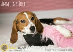 Adoptable beagle in central NJ. Meet our very own Angelina Jolie! Isn't she stunning? Angelina is crate-trained and gets along great with cats, dogs, and kids. happypawsrescue.org