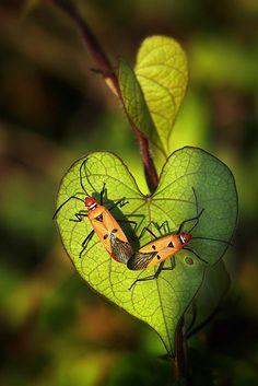 Two milkweed bugs