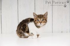 Kattenfotograaf Hillegom - Kitten Tommy-3