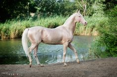 "Akhal-teke... ""Piastr""  the colour blows me away"