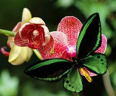 Green Priamus Birdwing Butterfly