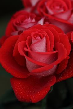 prettylittleflower:  red rose. by cate♪ on Flickr.
