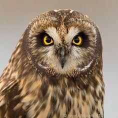Photograph Owl Portrait by Henrik Nilsson on 500px