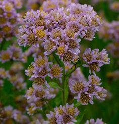 Aster tataricus | Fine Gardening