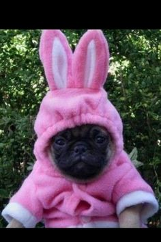 mopshond on pinterest pugs pug puppies and haha funny