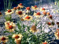 Gaillardia aristata Pursh  Common gaillardia, Great blanketflower, Blanketflower, Brown-eyed susan