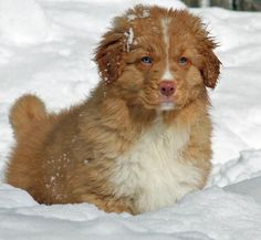 Emmet the Nova Scotia Duck Tolling Retriever