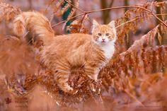 Foxy Cat by Roeselien Raimond - Photo 222059051 / 500px