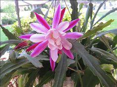 epiphyllum orchid cactus