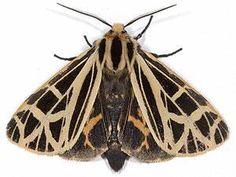 Anna Tiger Moth – Grammia anna