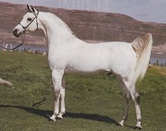 EL HILAL #35261 (*Ansata Ibn Halima++ x *Bint Nefisaa, by Nazeer) 1966 grey stallion bred by Gleannloch Farms; sired 680 registered purebreds, including 1985 US National Top Ten Futurity Colt CATRELL