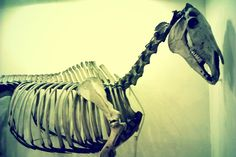 Horse skeleton.  © Laleh Creative All rights reserved.  http://lalehcreative.weebly.com/