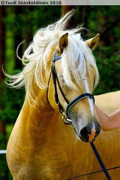 Finnhorse colt Preussi