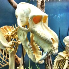 Mandrill baboon skeleton in the Museum of Osteology, OKC, OK.