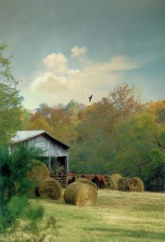 Hay is baled,cattle are at the barn and our resident eagle soars over the farm keeping a watchful eye on all.