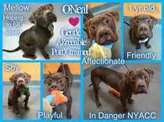 ONEAL – A1100317 Skinny very sweet and very good puppy dumped by owner is on death list today! If you would like to foster or adopt and can't make it to the shelter, please write an email NOW to the Urgent Help Desk at Helpdogs@Urgentpodr.org Their experienced volunteers will assist you one-on-one with rescues and the application process. Transport can be arranged by rescues to the homes of approved fosters or adopters within 3-4 hours of New York City