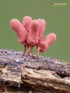 Arcyria insignis--maximum height 3mm...it looks like they are cancan dancers lol