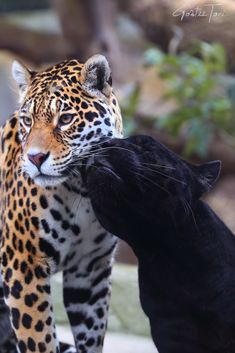 Best Jaguar Photos You Never Seen Before - Animals Comparison Big Cats, Cats And Kittens, Cute Cats, Beautiful Cats, Animals Beautiful, Rusty Spotted Cat, Animals And Pets, Cute Animals, Gato Grande