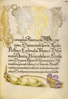 Broad Bean and Liverleaf; Joris Hoefnagel (Flemish / Hungarian, 1542 - 1600), and Georg Bocskay (Hungarian, died 1575); Vienna, Austria; 1561 - 1562; illumination added 1591 - 1596; Watercolors, gold and silver paint, and ink on parchment; Leaf: 16.6 x 12.4 cm (6 9/16 x 4 7/8 in.); Ms. 20, fol. 103. High res image from the Getty Museum.