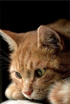 Orange Tabby Cat - Orange Cat - Ideas of Orange Cat - Orange Tabby Cat The post Orange Tabby Cat appeared first on Cat Gig. Pretty Cats, Beautiful Cats, Animals Beautiful, Cute Animals, Pretty Kitty, Animals Images, Cute Cats And Kittens, Kittens Cutest, White Kittens
