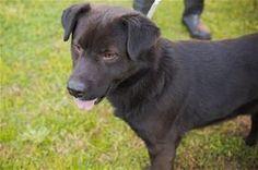 JIRO: http://www.glynncountyanimals.org/RP_AdoptMe.asp?aid=57636 Glynn County Animal Control 4765 Highway 17 N Brunswick, GA 31525 (912) 554-7500 email: animalservices@glynncounty-ga.gov ** 160316-JIRO ID: 35858 Breed: Chow Chow-Labrador Retriever (mix) Status: Adoptable (adoptable) Age: 2 years, 3 months Gender: Male