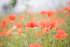 so weit das Auge reicht glühender Mohn welche Farbe hat Frieden?    as far as the eye reach glowing poppies what is the color of peace?        isabella.kramer@veredit16