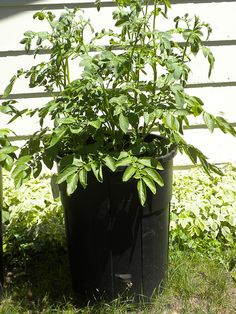 How To Grow LOTS Of Potatoes In A Trash Can food shtf prepping survival gardening