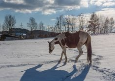 Horse in the nature Photos Horse in the winter landscape / snow by ChristianTh¨¹r Photography Winter Landscape, Nature Photos, Portfolio Design, Designs To Draw, Habitats, Snow, Horses, Photography, Animals