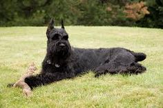 Giant schnauzer - Typical max height: inches and weight: 85 pounds. The largest of the Schnauzer breeds, Schnauzer Noir, Black Schnauzer, Giant Schnauzer, Schnauzer Puppy, Standard Schnauzer, Schnauzers, Miniature Schnauzer Puppies, Schnauzer Gigante, Best Large Dog Breeds