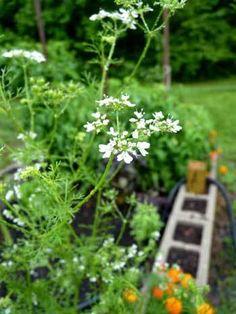 Companion Planting 101 – HOMEGROWN