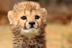 Cheetah Cub; Beautiful, Bright, Adorable, & Full of Promise.