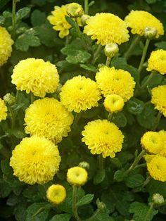 perennials Mum Lemon Baby Tears -- Bluestone Perennials , H Garden Mum, Autumn Garden, Dream Garden, Flowers For You, Fall Flowers, Yellow Flowers, Flowers Garden, Summer Flowers, Fall Mums