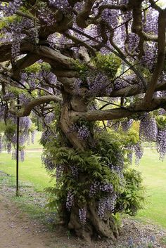 Old tree with flowering wisteria vine