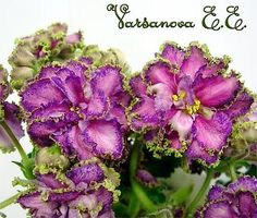 African Violet Saintpaulia Plant Dzhordzhia (Georgia) Marvelous | eBay