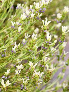 'Van Gogh' Spanish Lavender