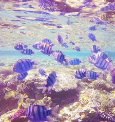 Tauchen im Roten Meer Ägypten, Tauchen in Sharm El Sheikh, eine Traumwelt, eine bezaubernde Unterwasserwelt, unterwasser, Fische, Korallenriffe, Rotes Meer, Red Sea, Faszination, Tauchen, Schnorcheln, Erlebniswelt, Erlebnisse unter Wasser, Uralub am Meer, Ägypten Urlaub #urlaub #ägypten #rotesmeer #redsea #egypt #travel #diving #tauchen #schnorcheln #unterwasser #unterwasserwelt # fische #traumurlaub #traum Am Meer, Red Sea, Diving, Egypt, Coral Reefs, Snorkeling, Animales, Scuba Diving