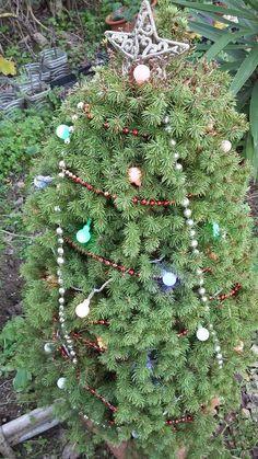 Aproveitamos para desejar um Feliz Natal a todos os nossos clientes, seguidores e amigos. Na foto, o nosso pinheiro-anão enfeitado. Boas Festas!! 🎄🎁 #Biokafs_Agro #Natal #FelizNatal #Árvores #ErvasAromáticas #Aromáticas #Flores #Sementes #PlantasBiológicas #SementesBiológicas #Biológico #Bio #Dezembro #Outono #Inverno #Plantas #Natureza #Nature #Christmas #MerryChristmas