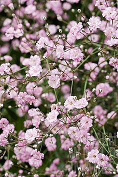 Festival Pink Baby's Breath ~ Gypsophila 'Festival Pink' ~ 50-60cm tall ~ Spacing 50-60cm ~ Bushy upright mound that has narrow blue-green leaves and thousands of tiny pink flowers. Blooms in midsummer. Remove spent flowers to encourage repeat flowering in autumn. Drought resistant once established. Plant in full sun in moist, well drained soil.