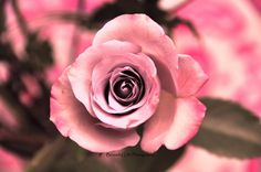 The Rose by BLPhotography on Etsy, $21.00